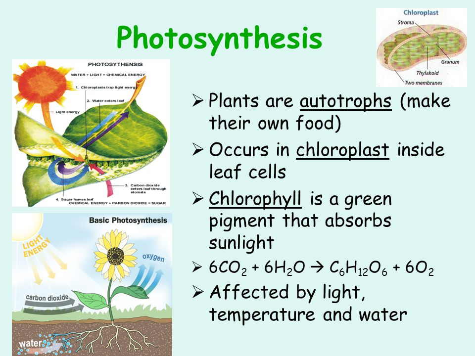 Photosynthesis Plants are autotrophs (make their own food)