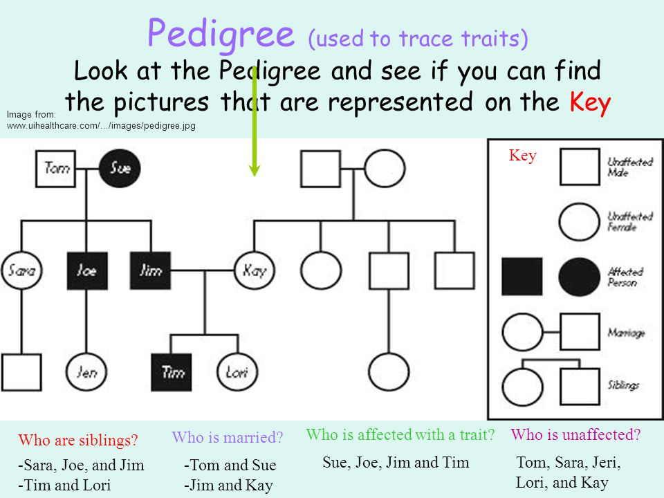 Pedigree (used to trace traits) Look at the Pedigree and see if you can find the pictures that are represented on the Key