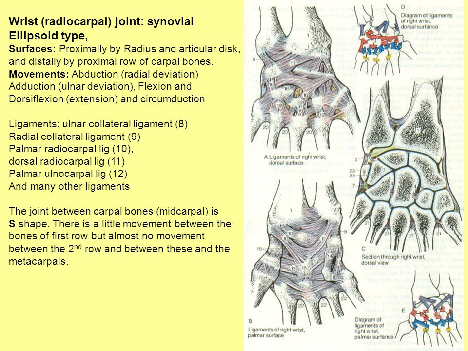 Wrist (radiocarpal) joint: synovial Ellipsoid type,