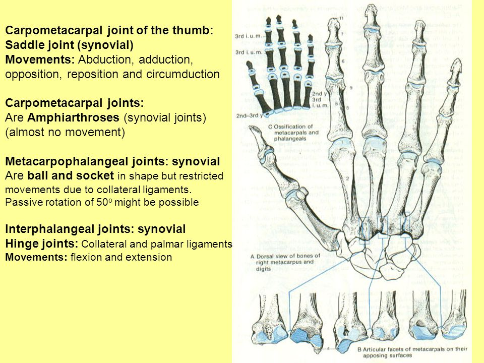 Carpometacarpal joint of the thumb: Saddle joint (synovial)