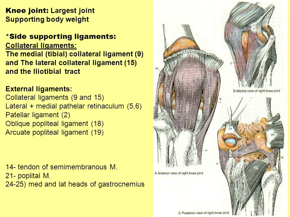 Knee joint: Largest joint