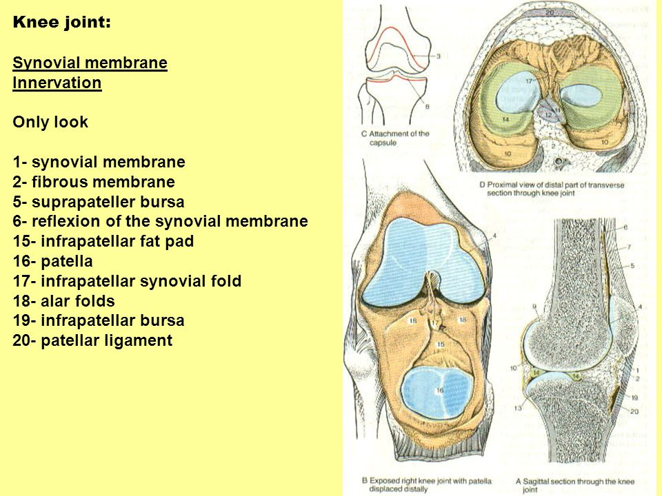 Knee joint: Synovial membrane. Innervation. Only look. 1- synovial membrane. 2- fibrous membrane.