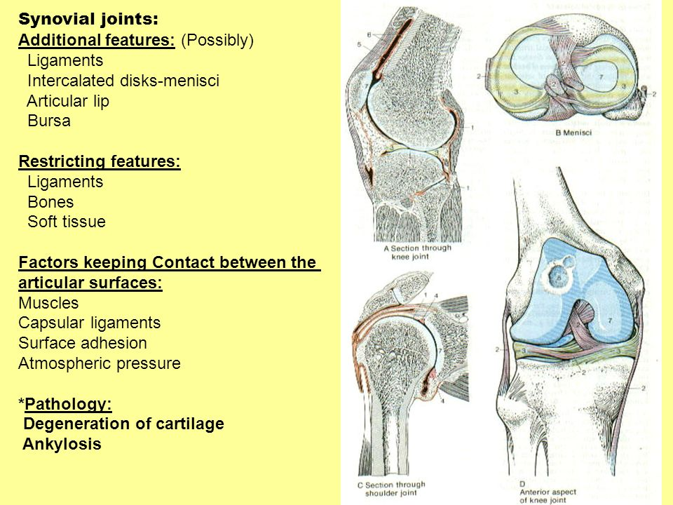 Synovial joints: Additional features: (Possibly) Ligaments. Intercalated disks-menisci. Articular lip.