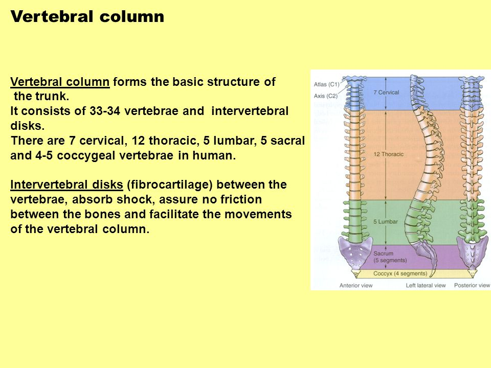 Vertebral column Vertebral column forms the basic structure of