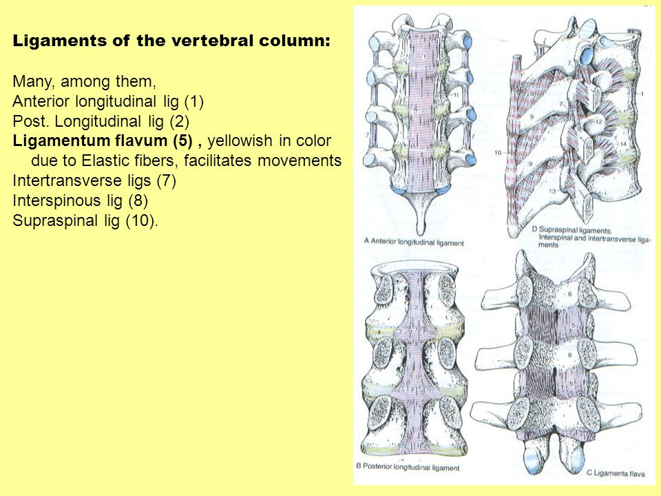 Ligaments of the vertebral column: