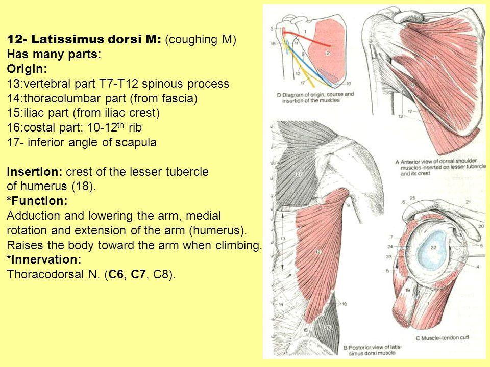 12- Latissimus dorsi M: (coughing M)