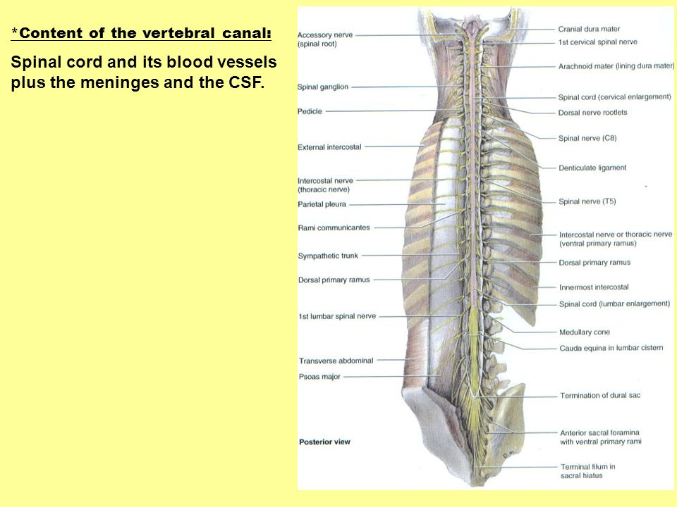 Spinal cord and its blood vessels plus the meninges and the CSF.