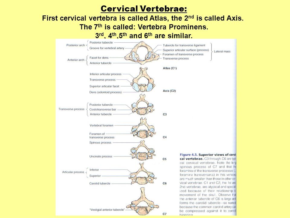 Cervical Vertebrae:First cervical vertebra is called Atlas, the 2nd is called Axis. The 7th is called: Vertebra Prominens.