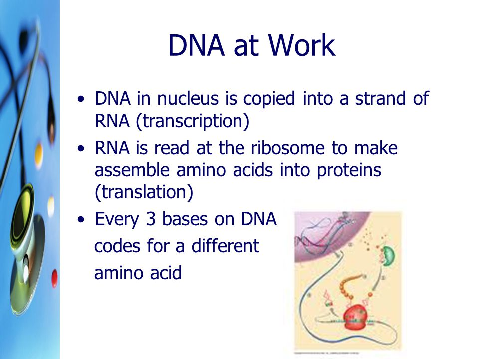 DNA at Work DNA in nucleus is copied into a strand of RNA (transcription)