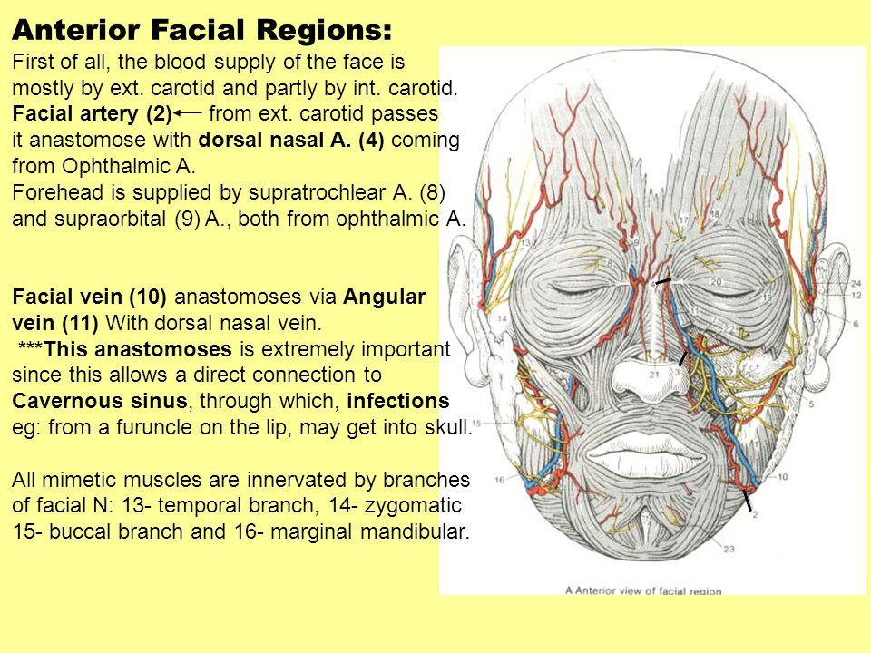 Anterior Facial Regions: