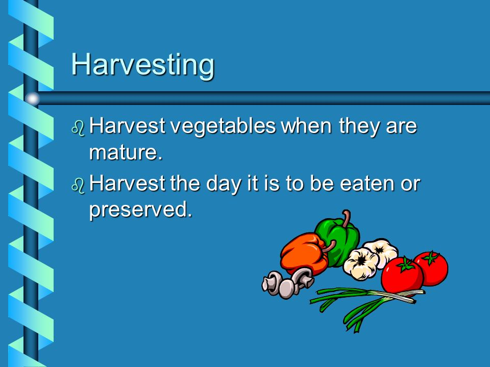 Harvesting Harvest vegetables when they are mature.