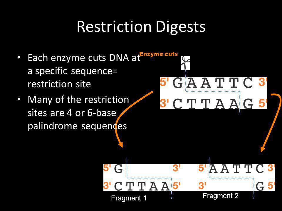 Restriction Digests Each enzyme cuts DNA at a specific sequence= restriction site.