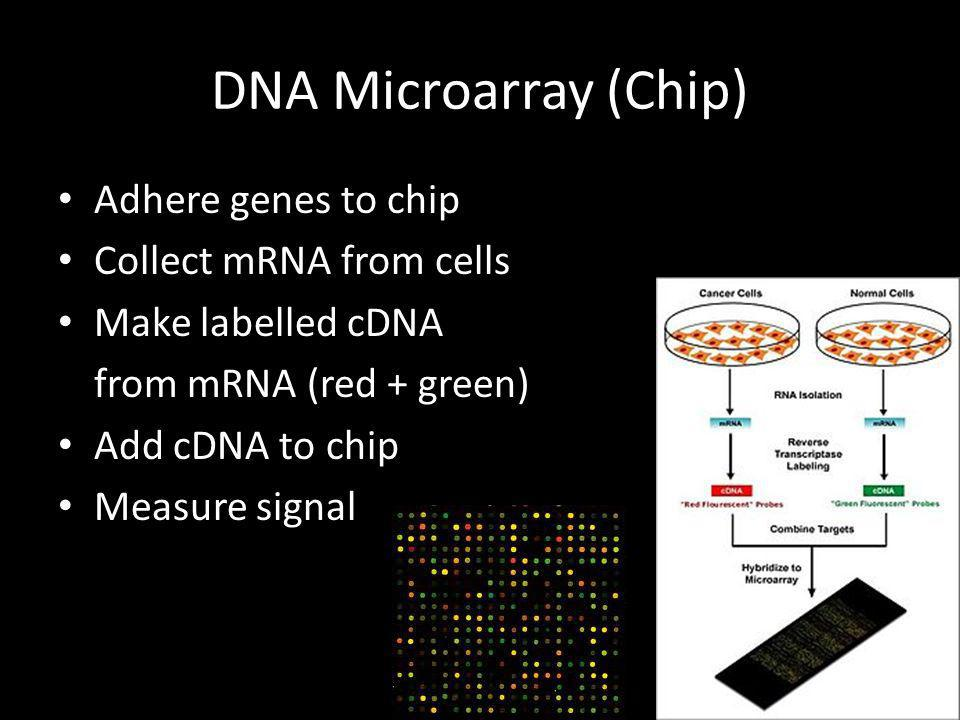 DNA Microarray (Chip) Adhere genes to chip Collect mRNA from cells