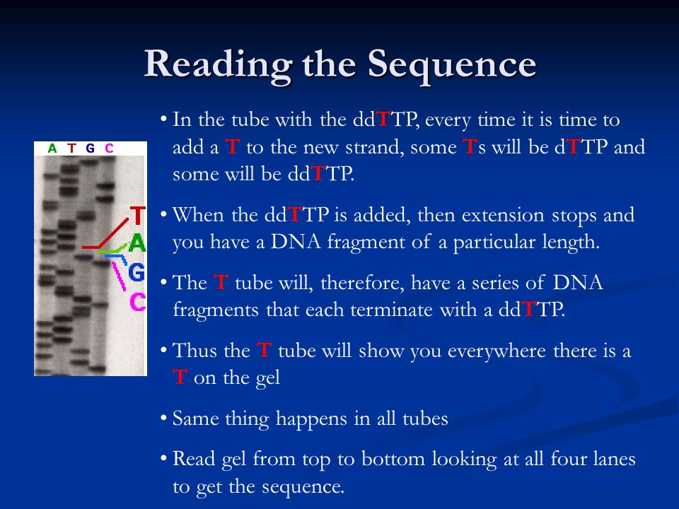 Reading the Sequence In the tube with the ddTTP, every time it is time to add a T to the new strand, some Ts will be dTTP and some will be ddTTP.