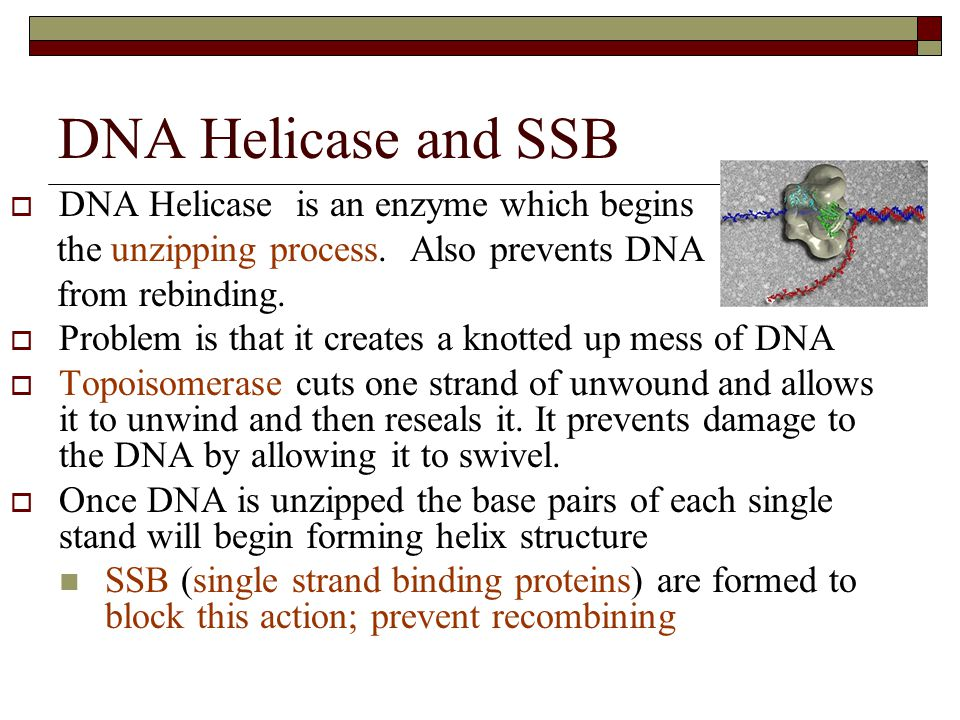 DNA Helicase and SSB DNA Helicase is an enzyme which begins