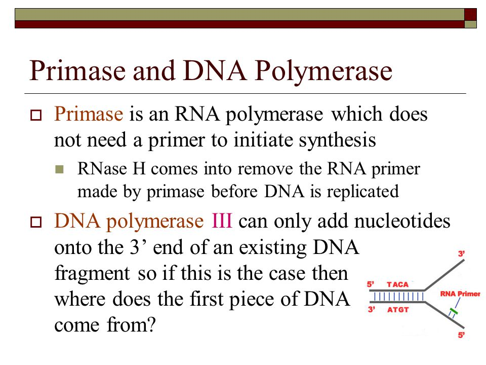 Primase and DNA Polymerase