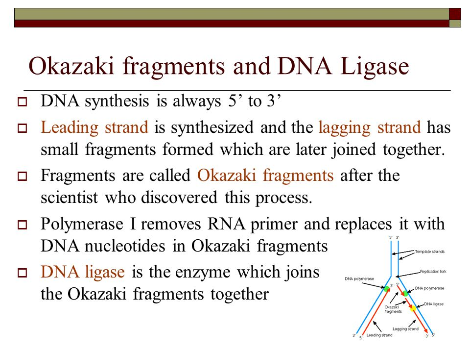 Okazaki fragments and DNA Ligase