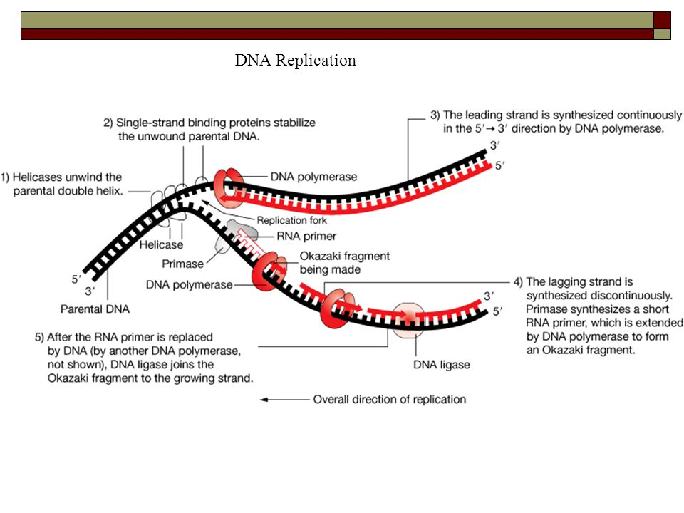 DNA Replication Follow the steps in order to review the process
