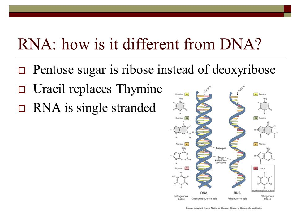 RNA: how is it different from DNA