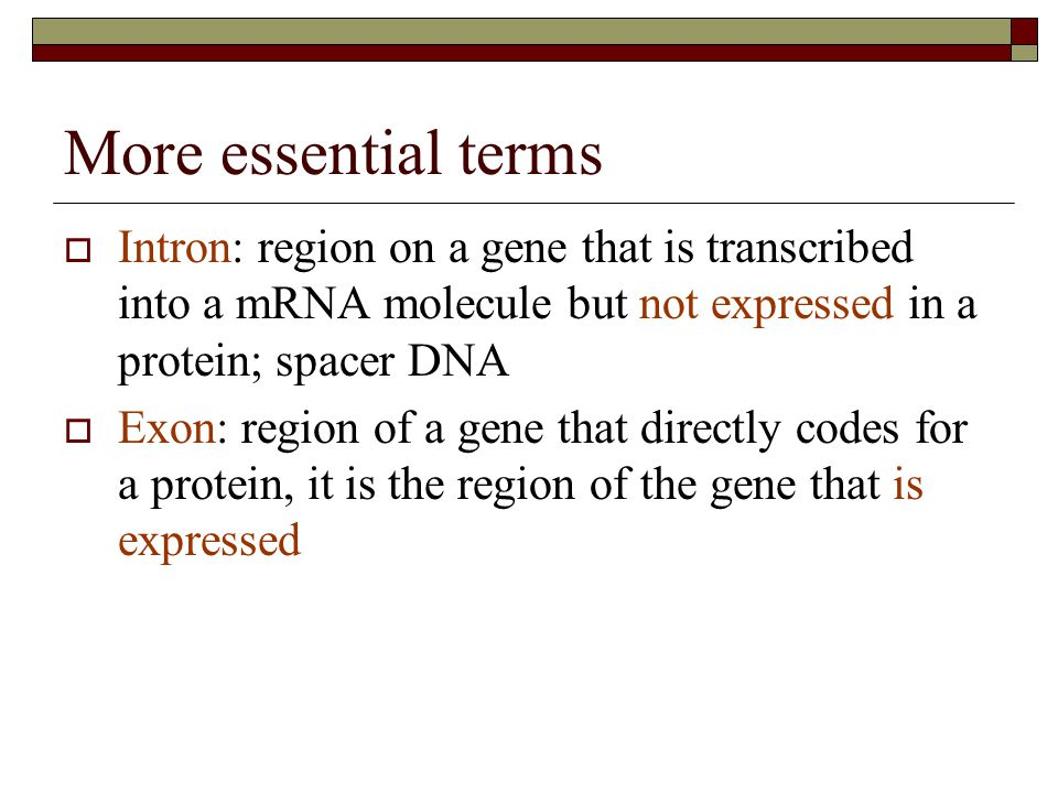 More essential terms Intron: region on a gene that is transcribed into a mRNA molecule but not expressed in a protein; spacer DNA.