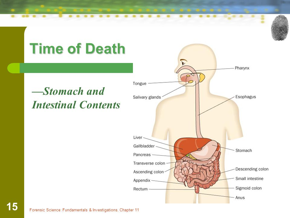Time of Death —Stomach and Intestinal Contents
