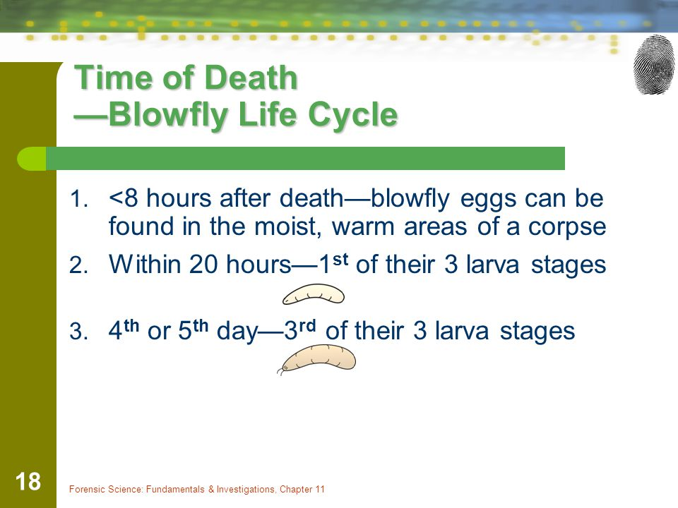 Time of Death —Blowfly Life Cycle