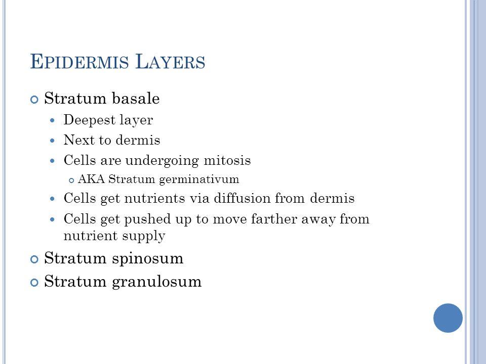 Epidermis Layers Stratum basale Stratum spinosum Stratum granulosum