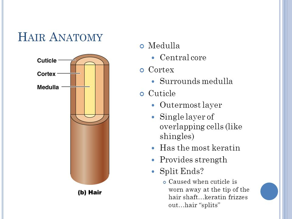 87 Keratin Anatomy Anatomy Of A Fingernail Structure Keratin In