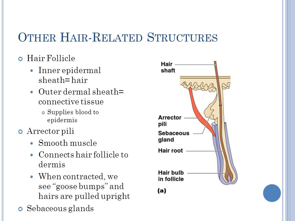 Other Hair-Related Structures