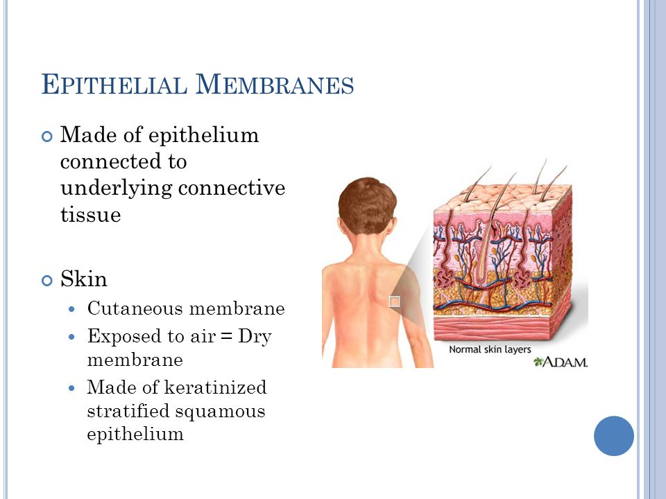 Epithelial Membranes Made of epithelium connected to underlying connective tissue. Skin. Cutaneous membrane.