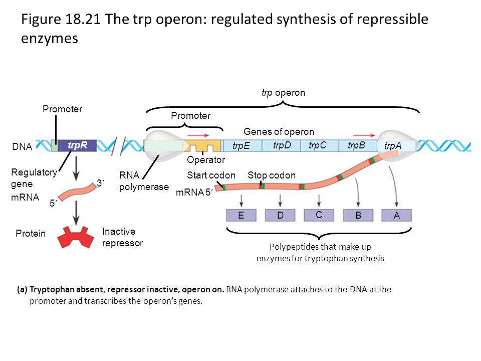 Figure 18.21 The trp operon: regulated synthesis of repressible enzymes