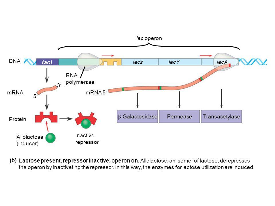 lacl mRNA 5 DNA mRNA Protein Allolactose (inducer) Inactive repressor