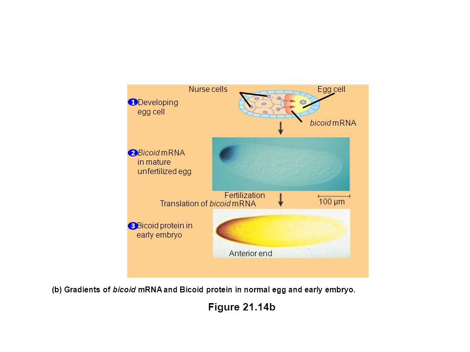 Translation of bicoid mRNA