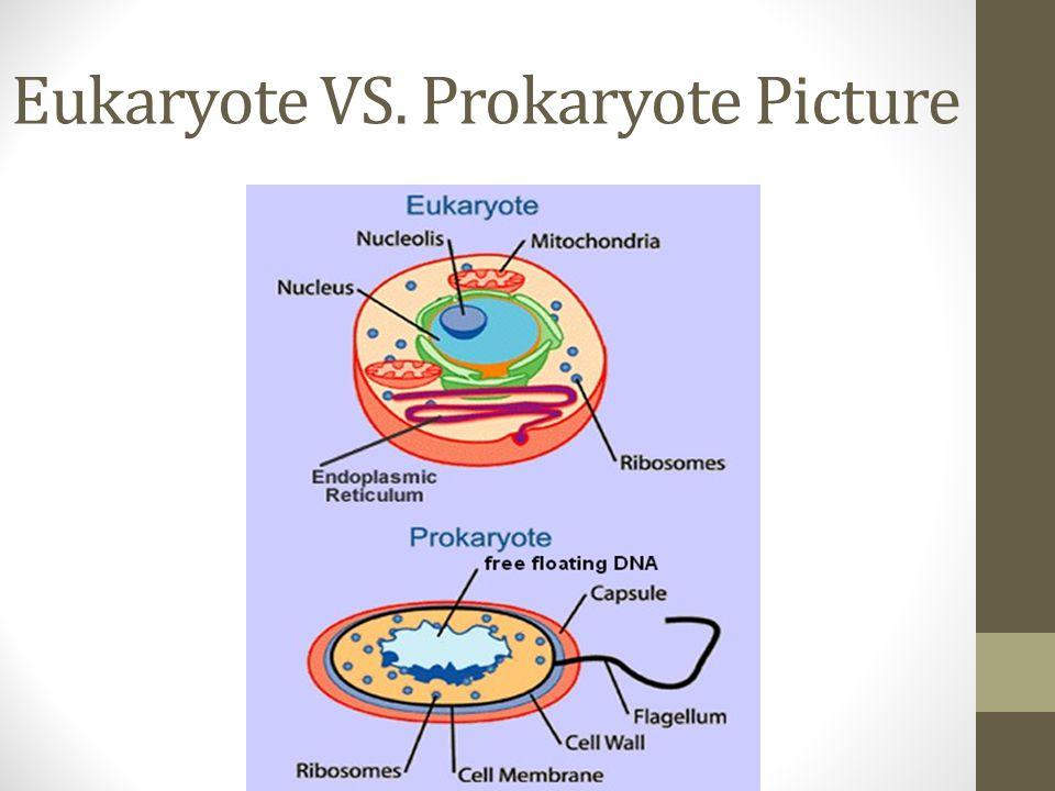 Eukaryote VS. Prokaryote Picture