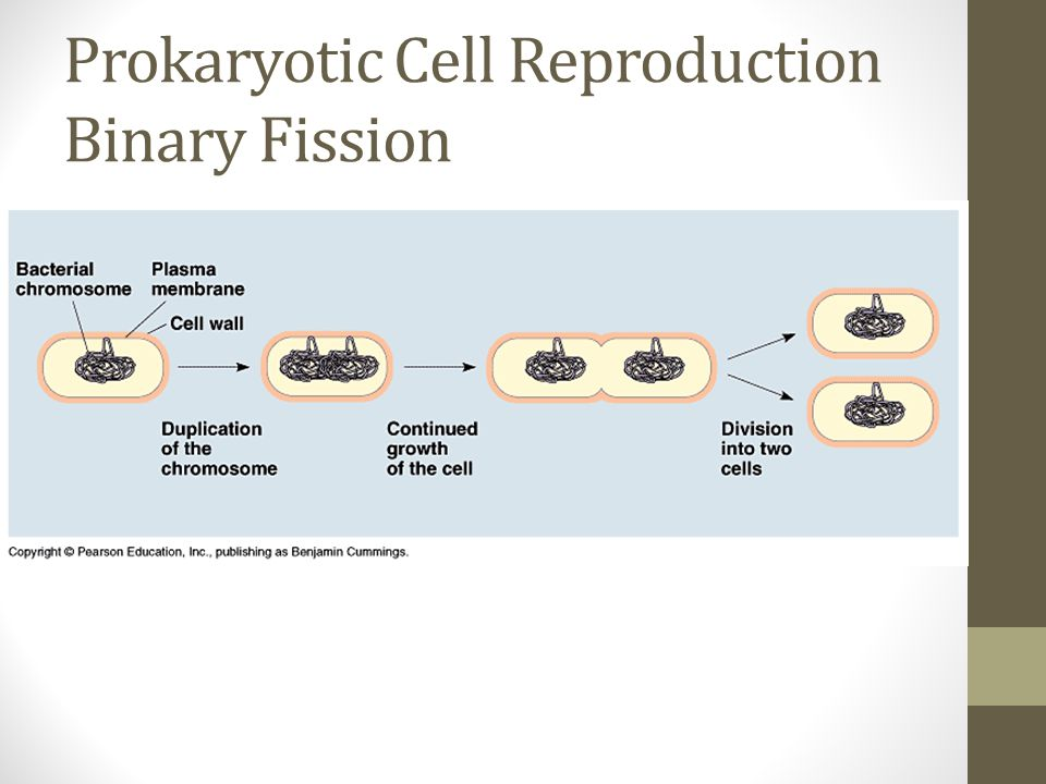 Prokaryotic Cell Reproduction Binary Fission