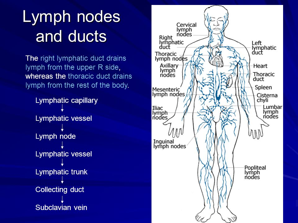Lymph nodes and ducts The right lymphatic duct drains lymph from the upper R side, whereas the thoracic duct drains lymph from the rest of the body.
