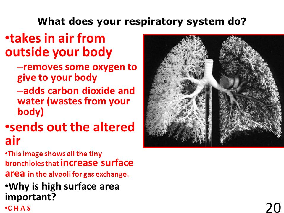 What does your respiratory system do