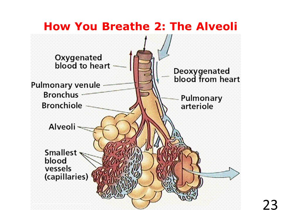 How You Breathe 2: The Alveoli