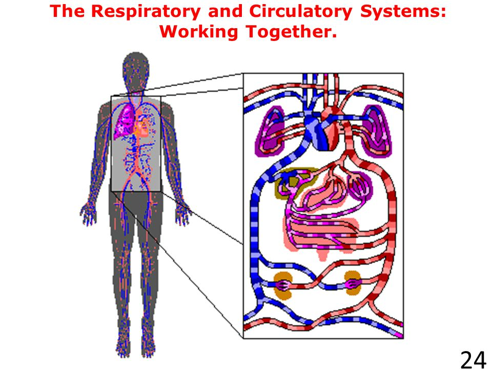 The Respiratory and Circulatory Systems: Working Together.