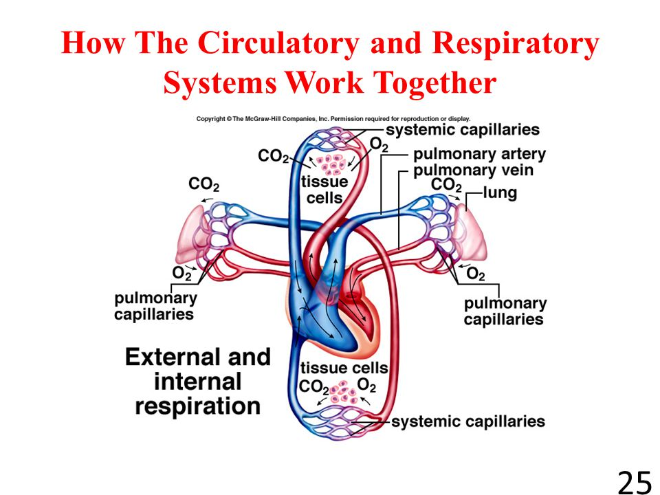 How The Circulatory and Respiratory Systems Work Together