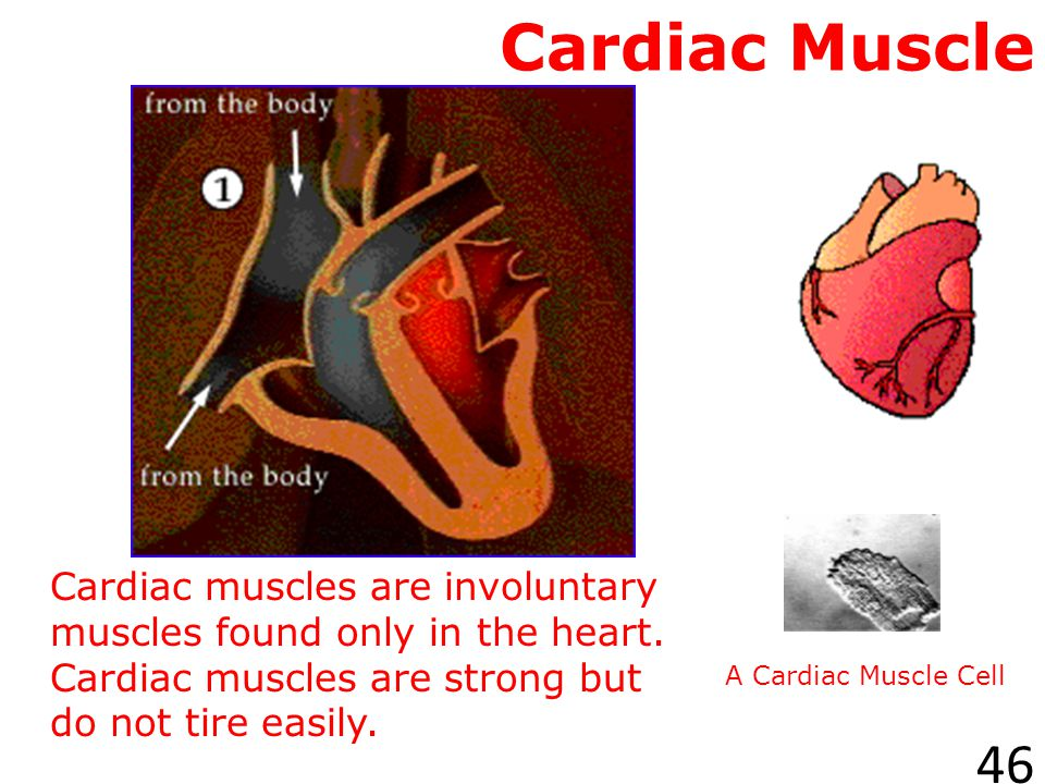 Cardiac Muscle Cardiac muscles are involuntary muscles found only in the heart. Cardiac muscles are strong but do not tire easily.
