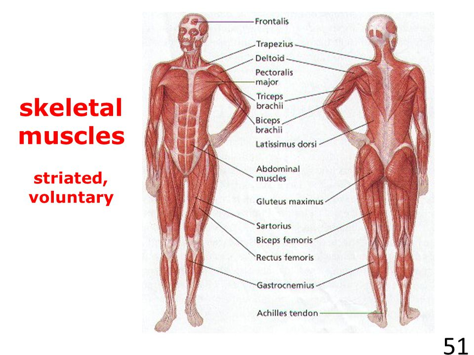 skeletal muscles striated, voluntary