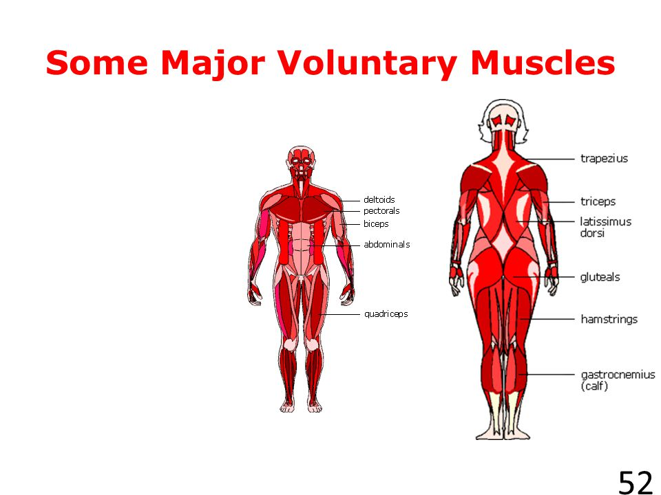 Some Major Voluntary Muscles