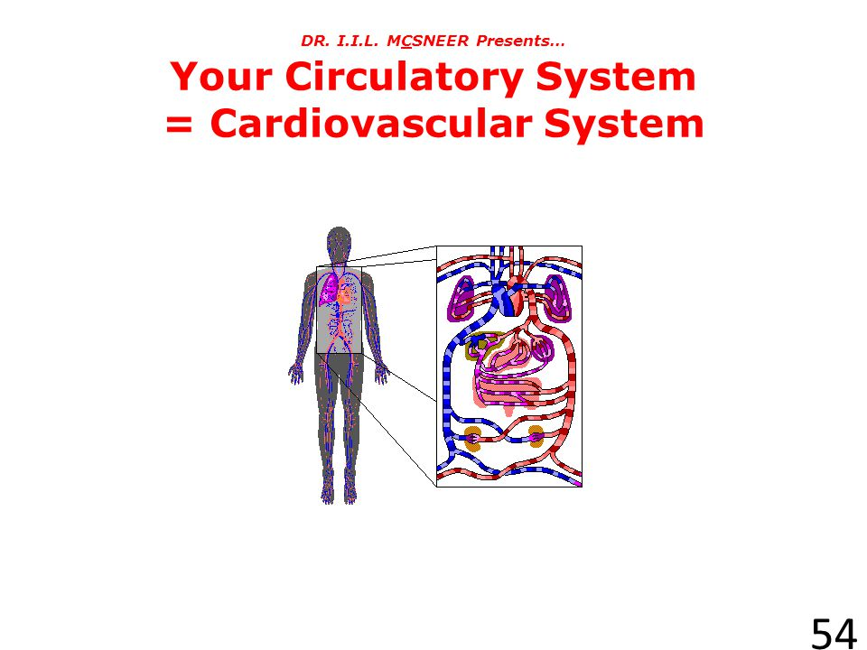 DR. I.I.L. MCSNEER Presents… Your Circulatory System = Cardiovascular System
