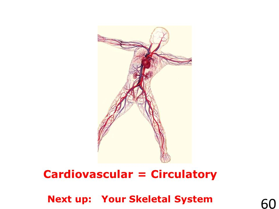 Cardiovascular = Circulatory Next up: Your Skeletal System