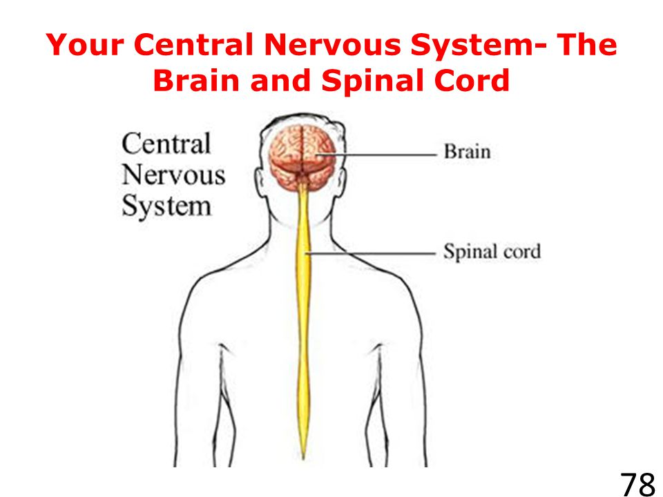 Your Central Nervous System- The Brain and Spinal Cord
