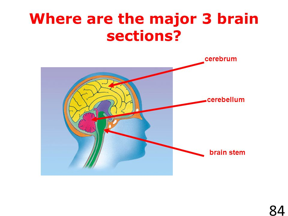 Where are the major 3 brain sections