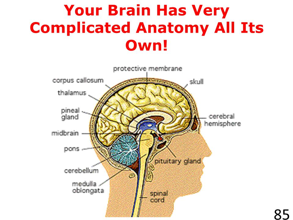 Your Brain Has Very Complicated Anatomy All Its Own!