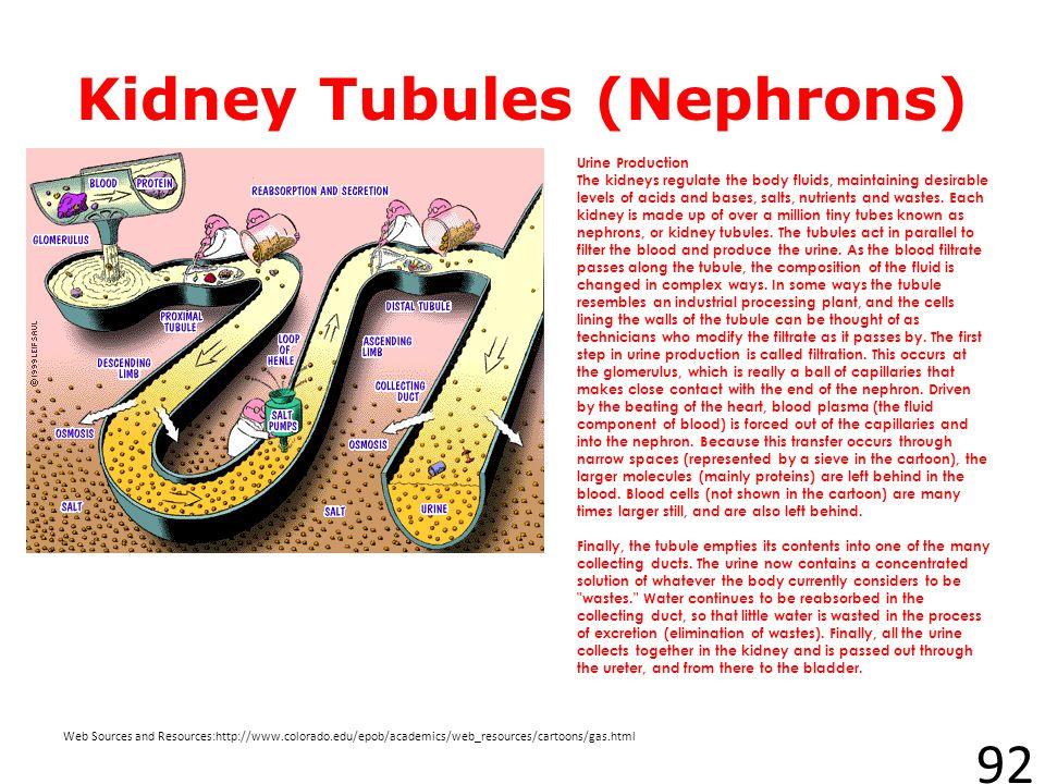 Kidney Tubules (Nephrons)