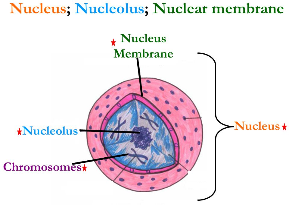 nucleus and nucleolus relationship advice